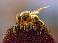 Honigbiene beim Sammeln